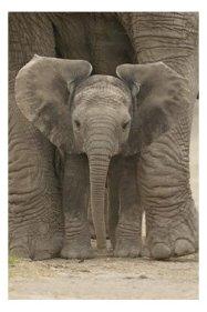 big-ears-elephant