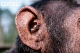 chimp ear