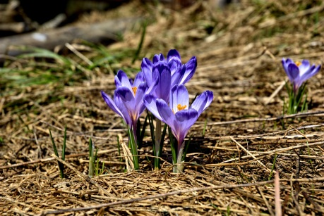 someone-elses-crocus